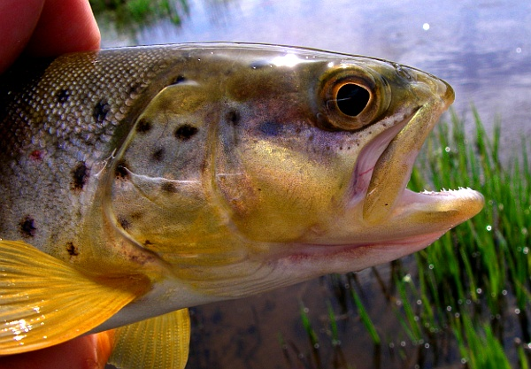 Small stream brown trout