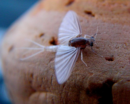 The Caenis Mayfly: Tiny but cute