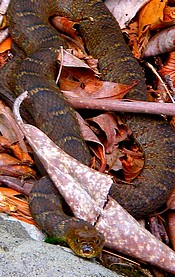 Hazel Creek Water Snake