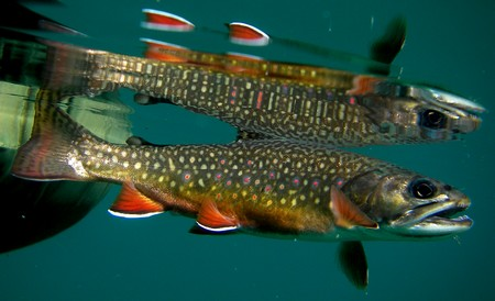Brook trout and reflection (underwater)